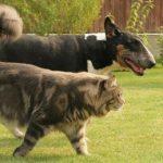 Видео кот мейн кун и собака