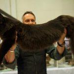 Вязка кошек мейн кун в санкт петербурге