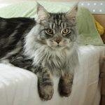 Возраст кота мейн кун для вязки в