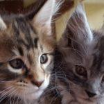 Как кормить кошку мейн куна чтобы выросла большой
