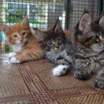 Что такое брид класс котята мейн кун