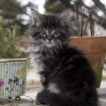 Какие имена дают кошки мейн куна