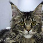 Котенок мейн кун фото серый с белым