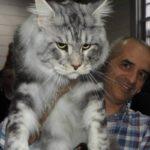 Мейн куны самая крупная порода домашних кошек