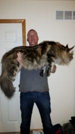Кот мейн кун рыжий фото с человеком