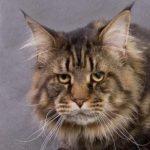 Питомник кошек породы мейн кун в санкт петербурге