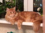 Рыжие коты породы мейн кун фото крупные локоны